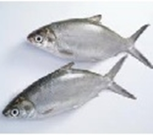 Picture of Milkfish