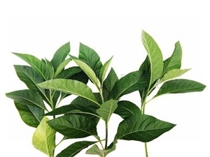 Picture of Fresh Bitter Leaf (Vernonia Amygdalina)