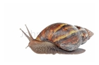 Picture of Snail (Live) x 1