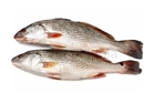 Picture of Croaker Large
