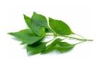 Picture of Fresh Scent Leaf (Ocimum Gratissimum) - Box (10 Bunches)